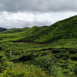 Tea time à Cameron Highlands