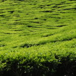 Tea plantations, Cameron Highlands, Malaisie