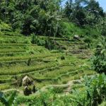 Rizières en terrasses, Ubud, Bali