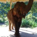 Elephant, Green Hill Valley, Kalaw, Myanmar