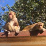 Singes du Mont Popa, Myanmar