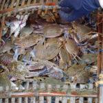 Les crabes bleus, Kep, Cambodge