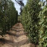 Sothy's Pepper farm, Kep, Cambodge