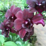 Orchidée au jardin botanique, Singapour