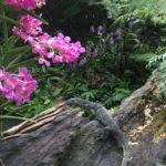 Orchidées et varan, Jardin botanique, Singapour